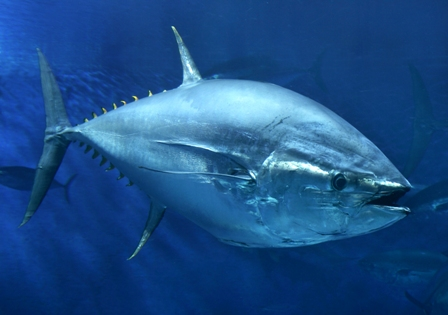 bluefin tuna at MBA